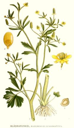 Ranunculus sceleratus (Лютик ядовитый)