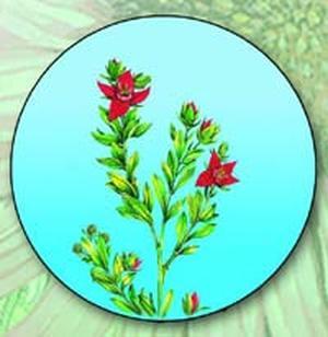 Ratania peruviana, Krameria triandra (Ратания перуанская, Крамерия трехтычинковая)