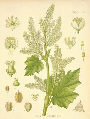 Rheum palmatum, Rhabarbarum (Ревень пальчатый)