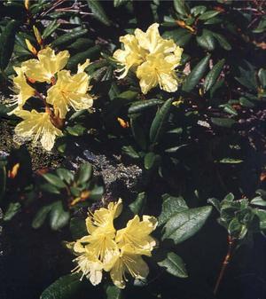 Rhododendron aureum (Рододендрон, Кашкарник золотистый)