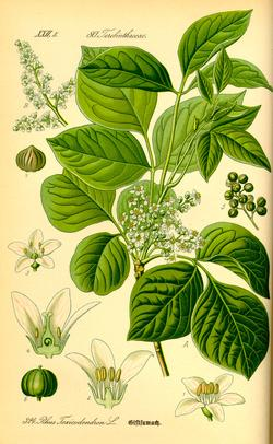 Rhus toxicodendron (Сумах ядовитый)