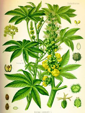 Ricinus communis (Клещевина)