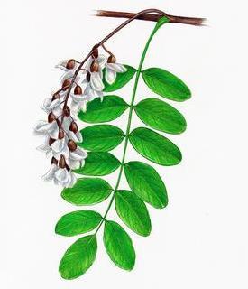 Robinia pseudo-acacia (Робиния лжеакация, Белая акация)