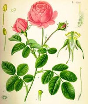 Rosa Damastica (Роза дамасская)