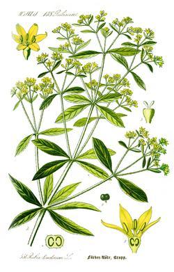 Rubia tinctoria (Марена красильная)