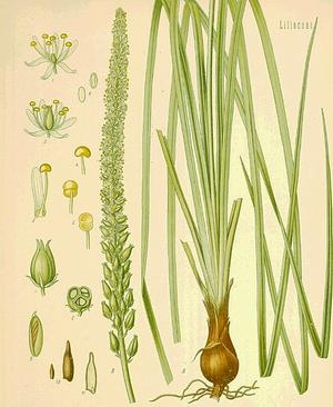 Sabadilla officinale (Сабадилла)