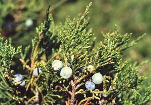 Sabina, Juniperus sabine (Можжевельник казацкий)