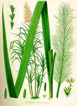 Saсcharum officinale (Сахарный тростник)