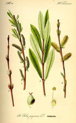 Salix purpurea (Ива пурпурная)