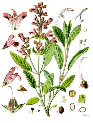 Salvia officinalis (Шалфей аптечный)