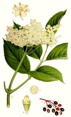 Sambucus nigra (Бузина черная)