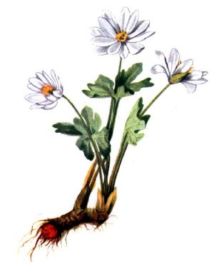 Sanguinaria canadensis (Сангвинария канадская)