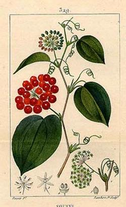 Sarsaparilla, Smilax medica (Сарсапарилла лечебная)