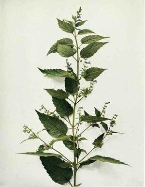 Scutellaria lateriflora (Скутеллярия, Шлемник бокоцветный)