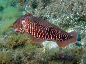 Sepia (Чернила каракатицы)