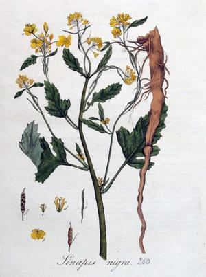 Sinapis nigra (Горчица черная)