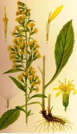 Solidago virga aurea (Солидаго, Золотая розга)