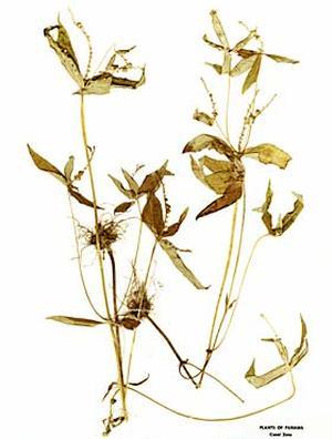 Spigelia anthelmia (Спигелия противоглистная)