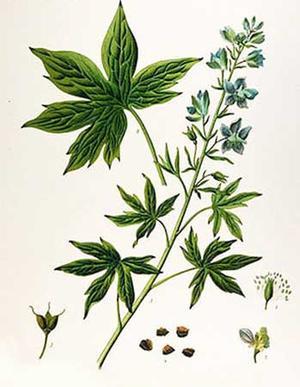 Staphysagria, Delphinium staphisagria (Стафизагрия, Стефаново семя)