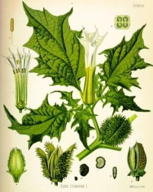 Stramonium, Datura stramonium (Дурман обыкновенный, Бешеное яблоко)