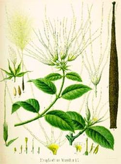 Strophantus hispidus (Строфант волосистый)