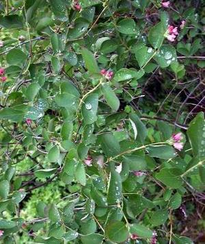 Symphoricarpus racemosus (Снежноягодник гроздевидный)