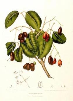 Syzygium jambolanum (Сицигиум, Ямболян)