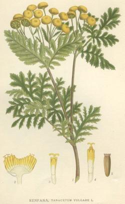 Tanacetum vulgare (Пижма обыкновенная)