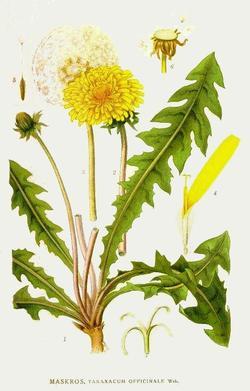 Taraxacum officinale (Одуванчик лекарственный)