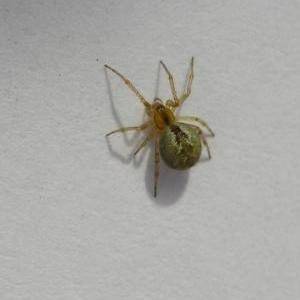 Theridion Curassavicum (Оранжевый паук)