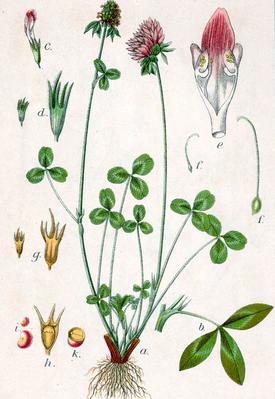 Trifolium pratensa (Клевер луговой)