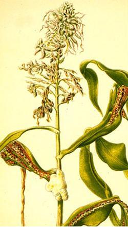 Ustilago zear, maydis (Пузырчатая головня кукурузы)