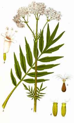 Valeriana officinalis (Валериана лекарственная)