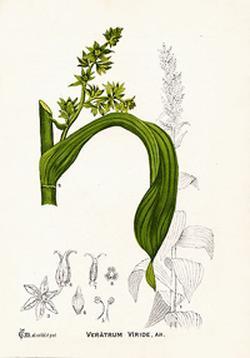 Veratrum viride (Чемерица зеленая)