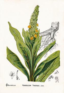 Verbascum thapsiforme (Царский скипетр, Коровяк)