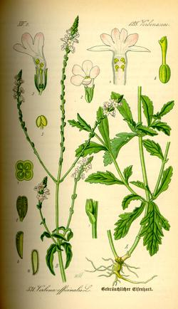 Verbena officinalis (Вербена аптечная)