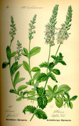 Veronica officinalis (Вероника аптечная, Дубровка)