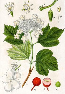 Viburnum opulus (Калина обыкновенная)