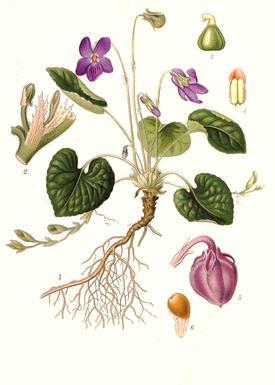 Viola odorata (Фиалка душистая)