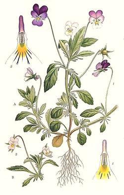 Viola tricolor (Фиалка трехцветная, Анютины глазки)