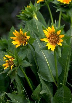 Wyethia helenioides (Виеция геленевидная)